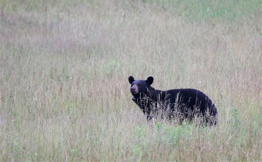Patton Township Police Issue Precaution Guidelines After Recent String of Bear Incidents