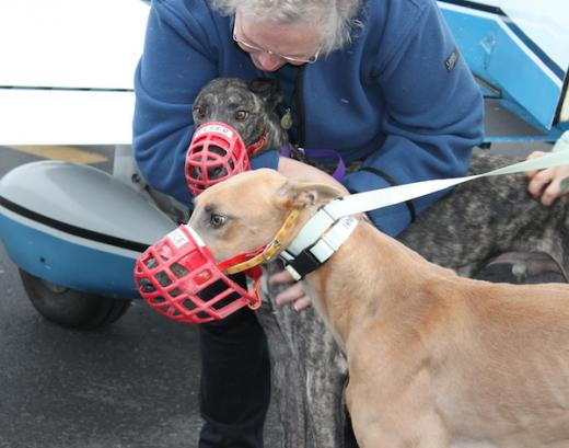 Retired Greyhounds Hitch a Plane Ride from Orlando to State College