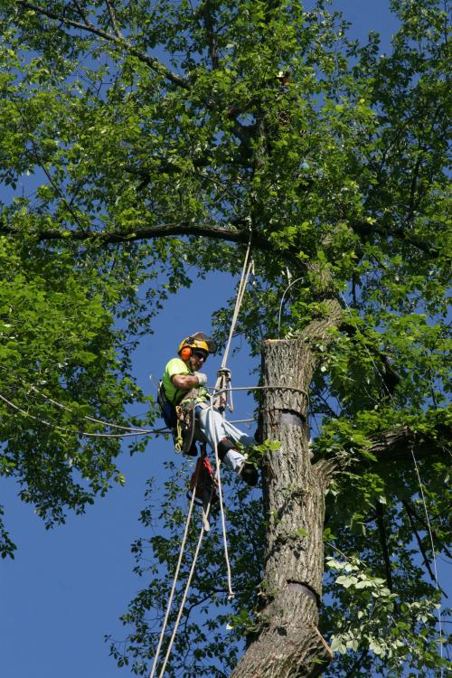 Saving Endangered Elm Trees Is An Uphill Battle