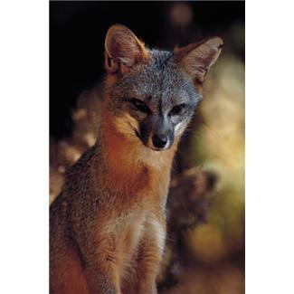 Officials say Rabid Fox Attacked Woman; Second Gray Fox Reportedly Spotted