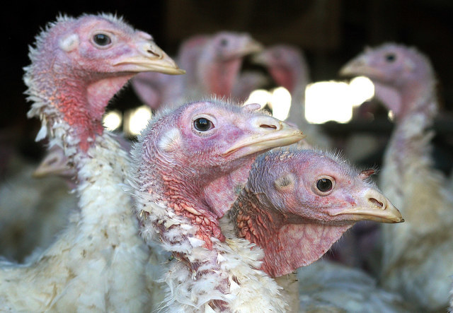 U.S. Appears Free of Bird Flu, Penn State Still Urges Caution