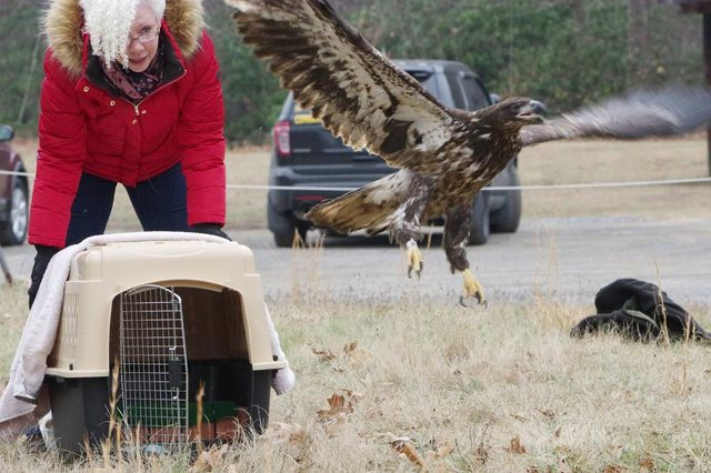 Centre Wildlife Care Releases Bald Eagle After Rehabilitation
