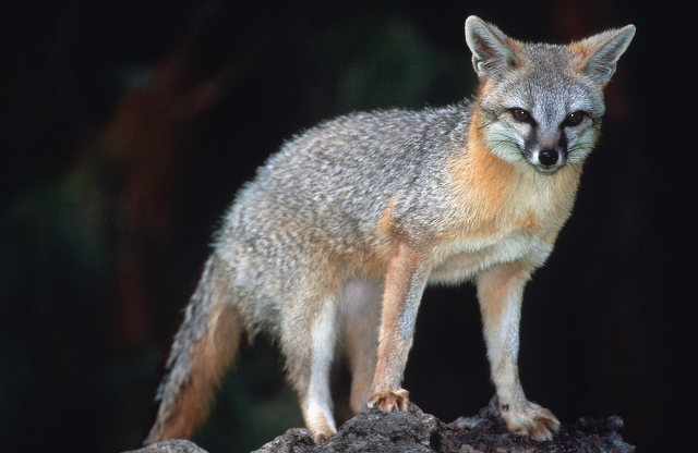 Fox Attacked Residents, Dog
