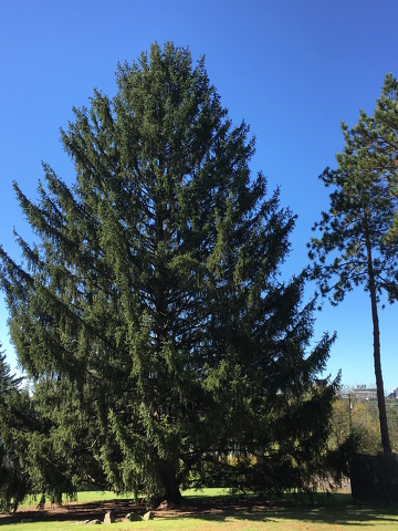 Rockefeller Center Christmas Tree Will Be from State College