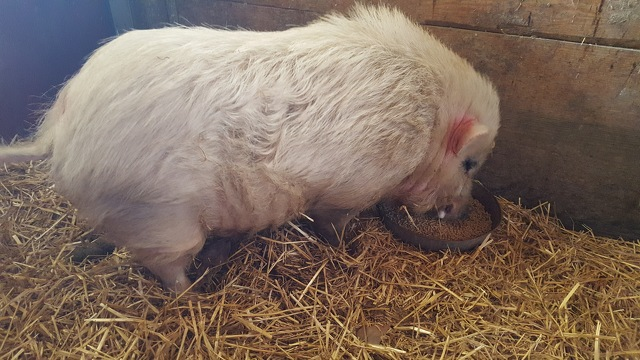 Pets Come First Caring for Pig That Wandered into Fraternity's Yard