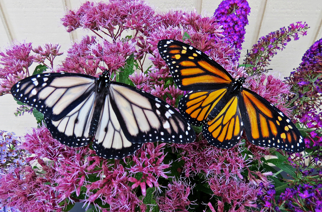 Rare Monarchs Being Raised in Spring Mills
