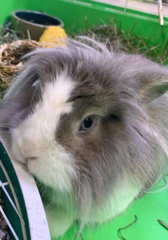 Meet State College's Furry Celebrity: Wallace the Bunny