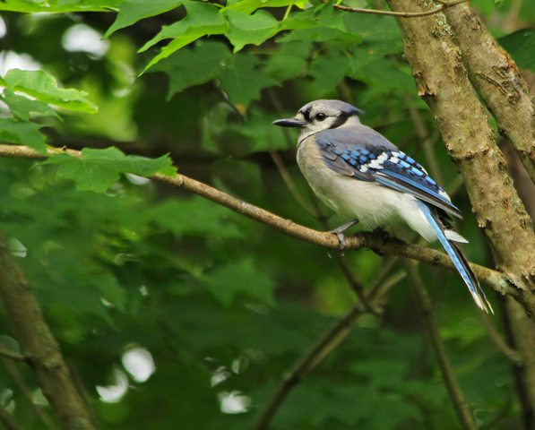 Nature's Ways: The Blue Jay — Our Largest, Regular Bird Feeder Guest