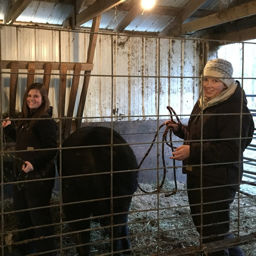 Showing animals at Farm Show requires months of prep work