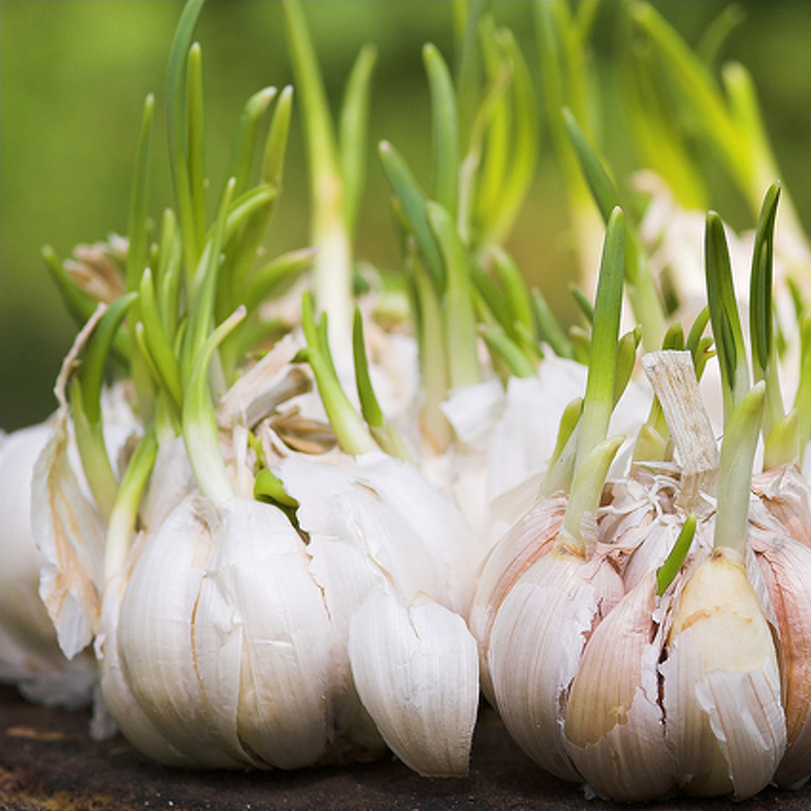 Festival to Feature Garlic Milkshake, Celebrate Local Gardening