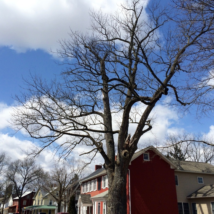 Damaged and Weakened, Historic Tree to be Removed in Boalsburg