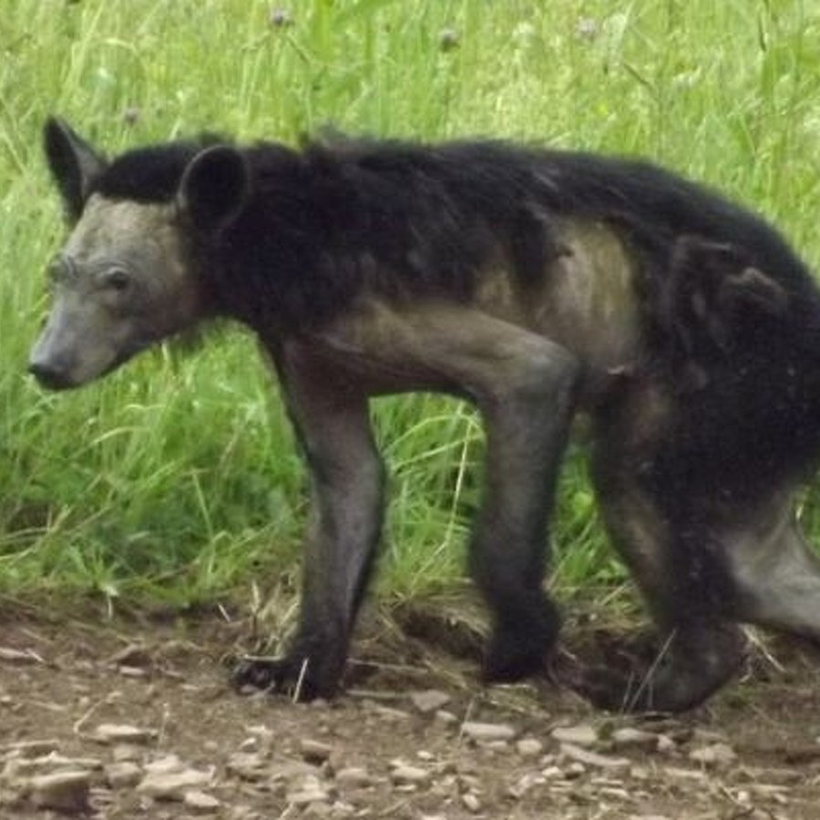 Game Commission and Penn State Partner to Address Pennsylvania Bear Mange Epidemic