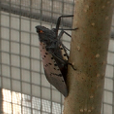 Unconfirmed Sighting of Invasive Lanternfly Reported in Centre County