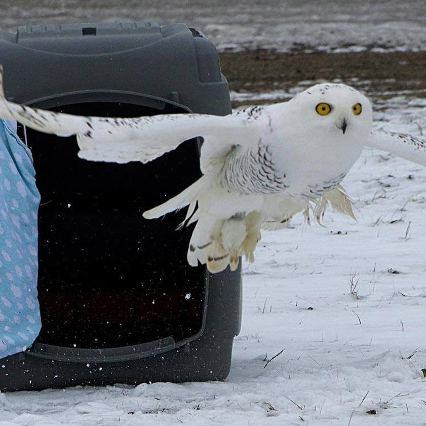 Nearly a Year After Christmas Day Rescue, Snowy Owl Released by Centre Wildlife Care
