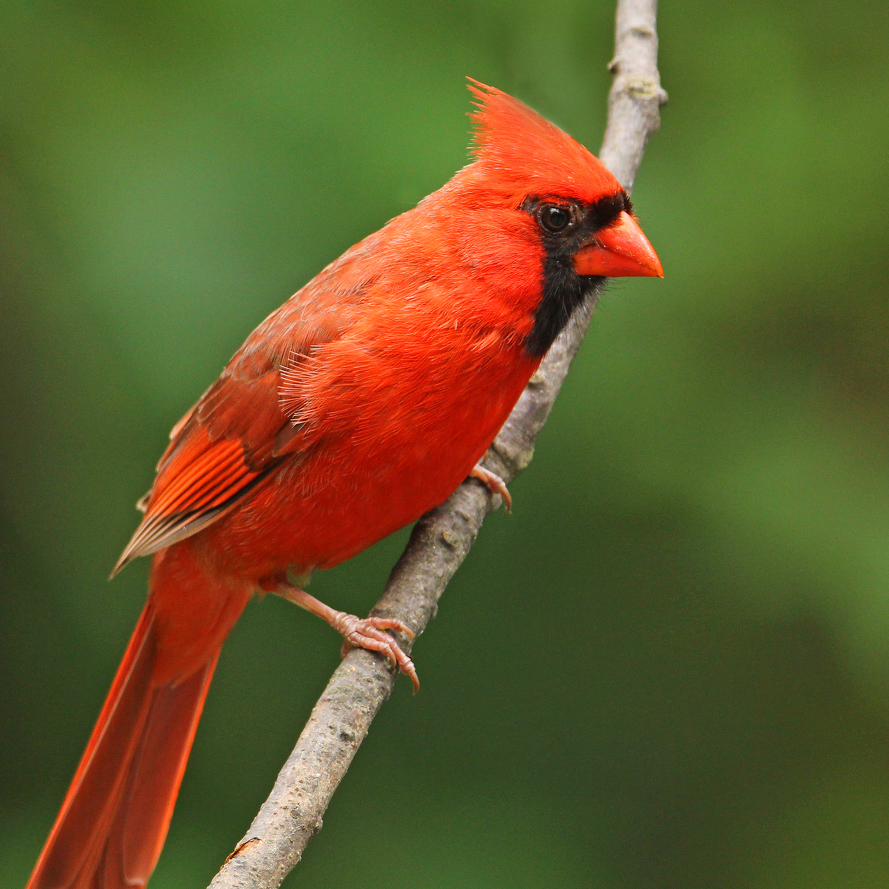 Nature's Ways: Northern Cardinal — The Christmas Bird