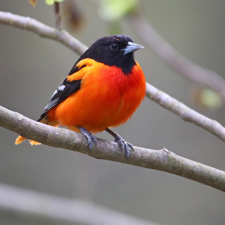 Nature's Ways: The Baltimore Oriole — The Feathered 'Campfire'
