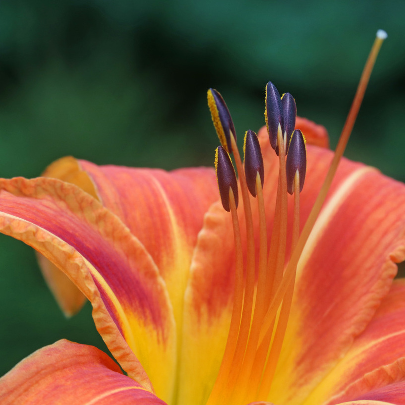 Nature's Ways: The Common Day-Lily Brightens July Days