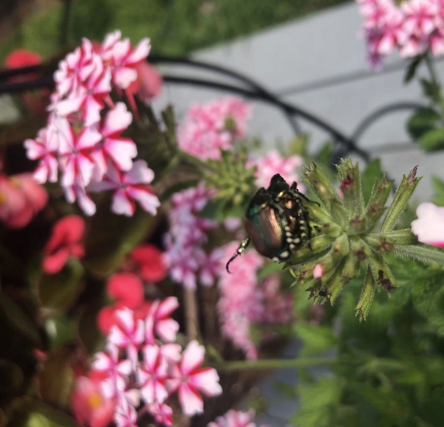 Avid Gardener: The Japanese Beetle — A Summer Scourge