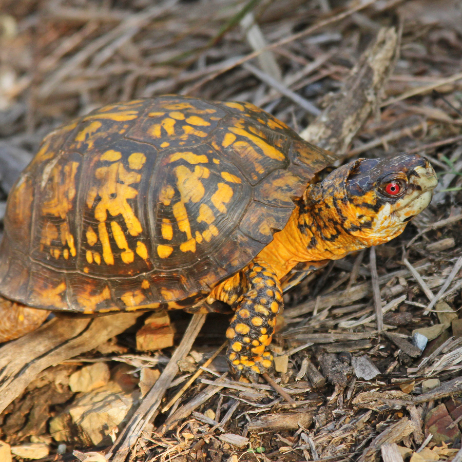 Nature's Ways: The Long-Lived Eastern Box Turtle