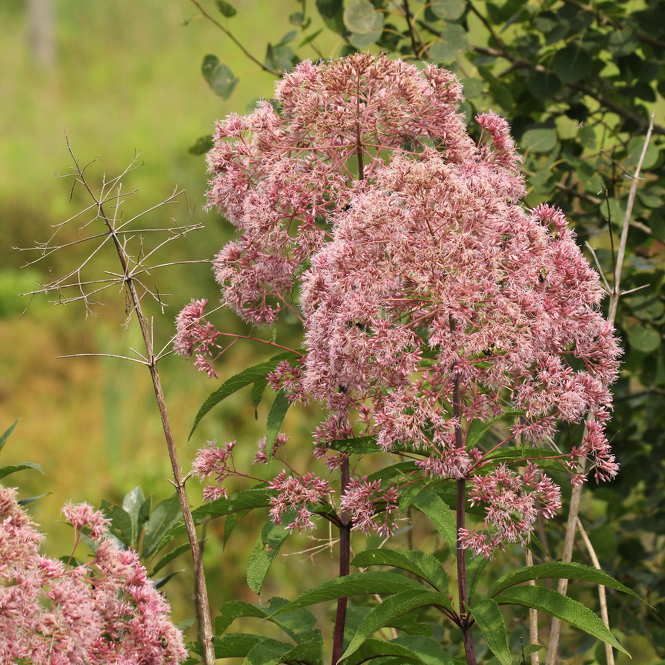 Nature's Ways: Joe-Pye Weed — Pennsylvania's Tallest Wildflower