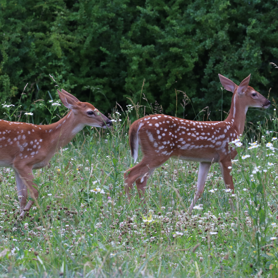 Nature's Ways: Our State Animal — the White-Tailed Deer
