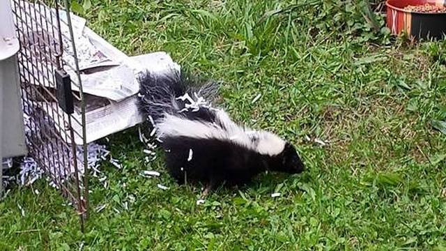 Do You Have What it Takes? Wildlife Rescue Group Needs Home for Baby Skunks