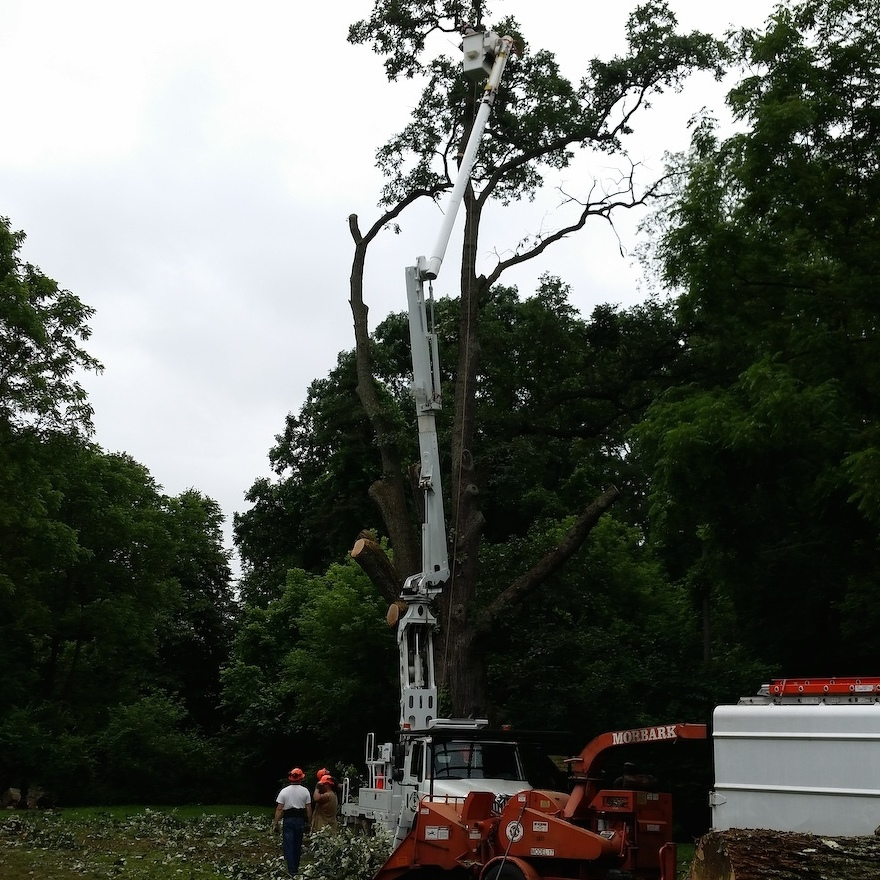 Historic Tree Brought Down in Lemont