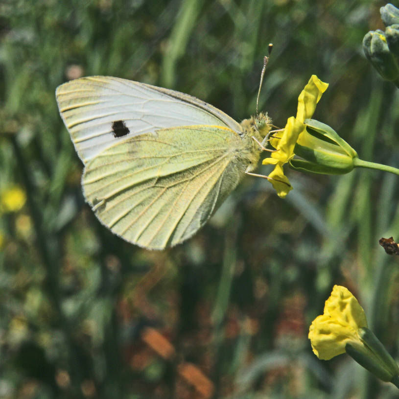 Nature's Ways: Cabbage White Butterfly Is a Serious Agricultural Pest