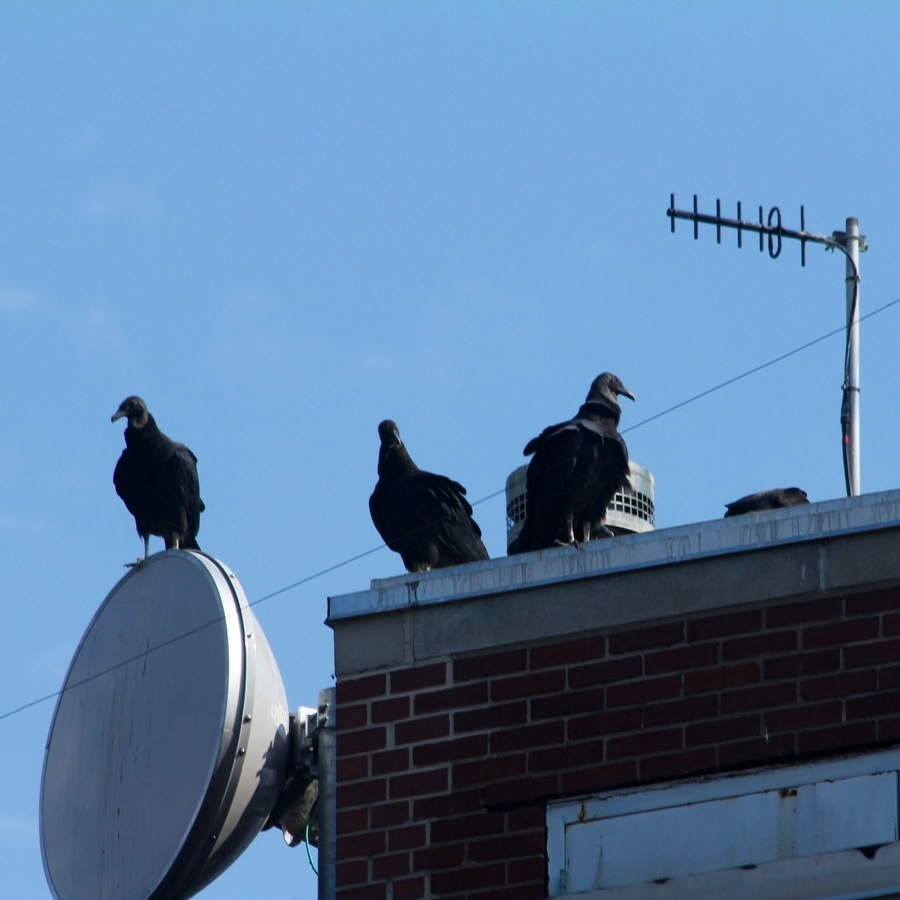 County Looks to Solve Vulture Problem at Willowbank Building