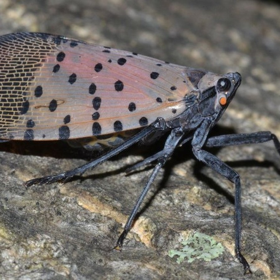 Penn State Receives $7.3 Million Research Grant to Combat Spotted Lanternfly