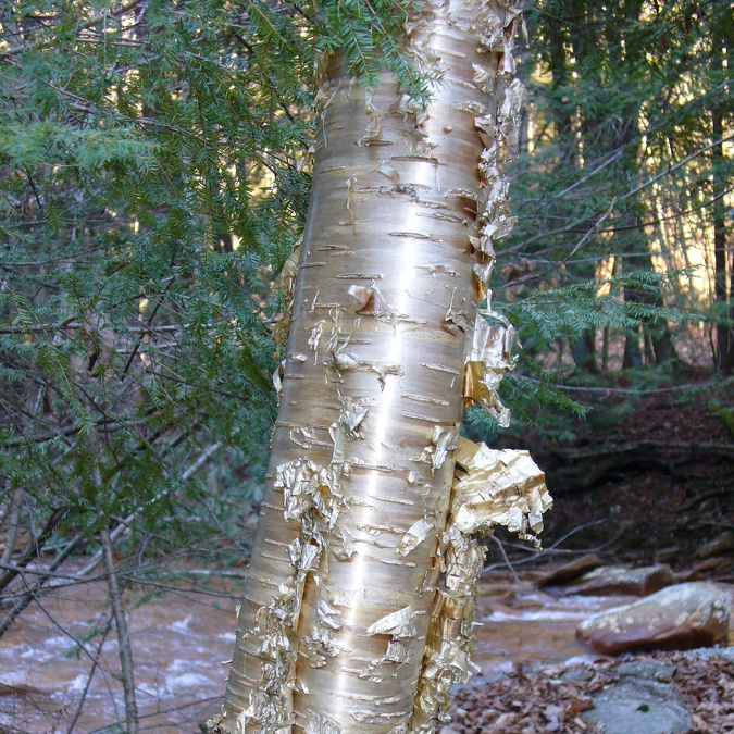 Nature's Ways: Yellow Birch Is Easy to Identify — Even in January