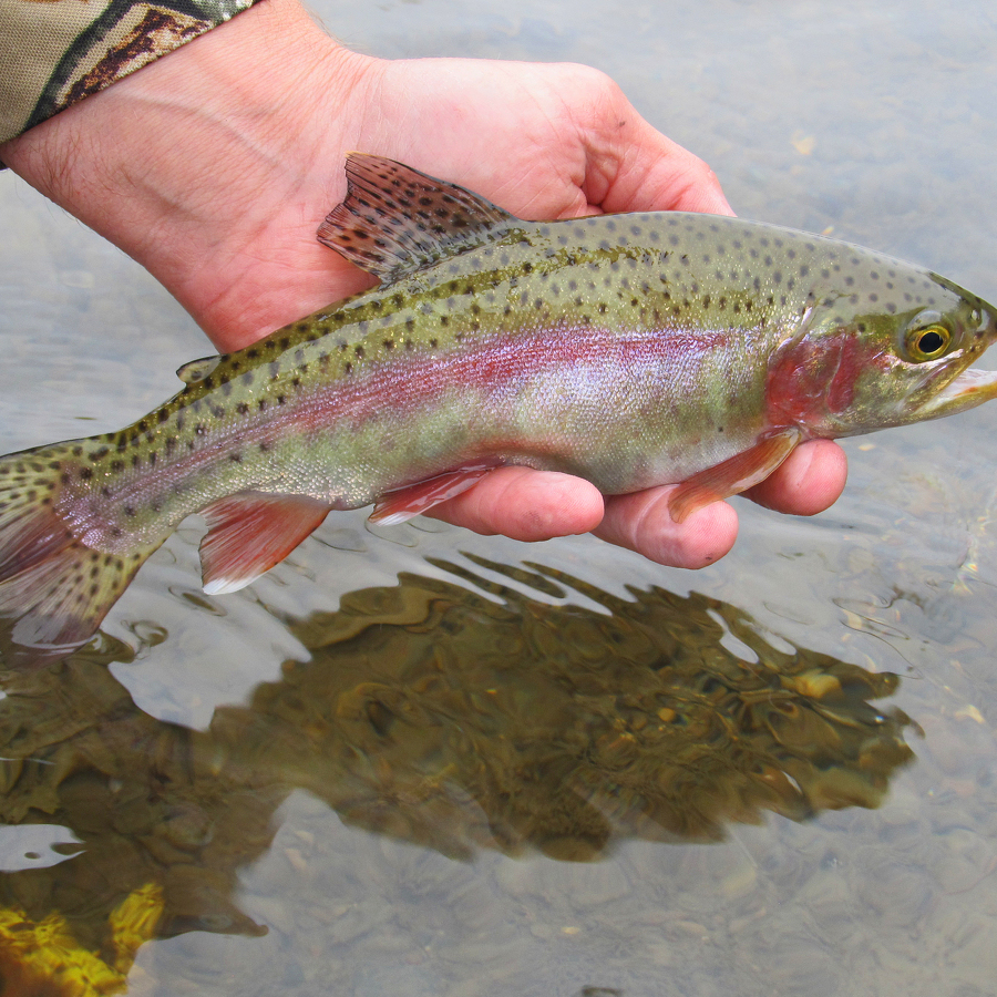 Nature's Ways: Rainbow Trout – Pennsylvania's Most Commonly-Stocked Trout Species