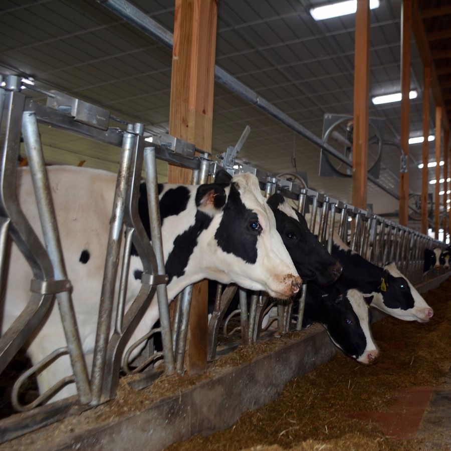 Pandemic Puts the Squeeze on Dairy Farmers